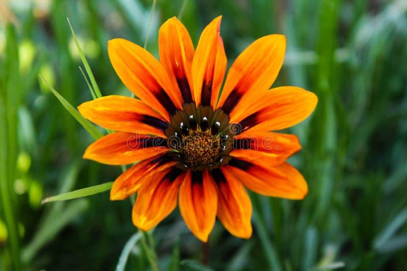 Asiatisk orange blomma arkivfoto