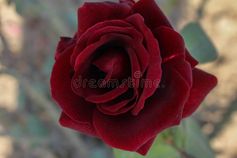 Asiatisk röd blomma arkivfoton
