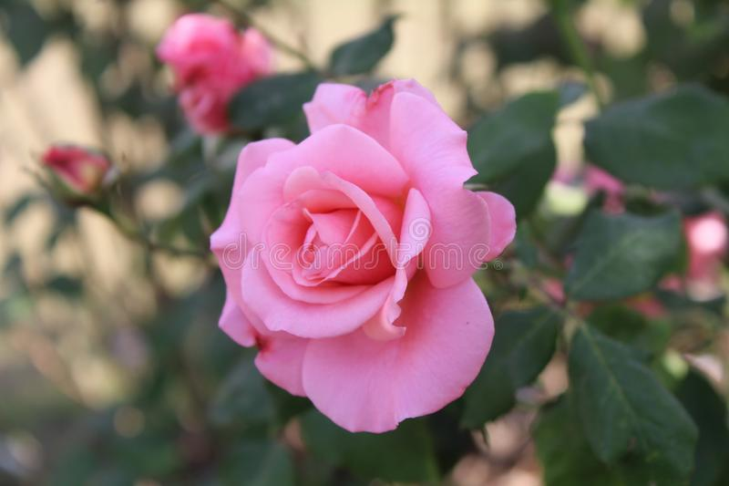 Asiatisk rosa blomma royaltyfri foto