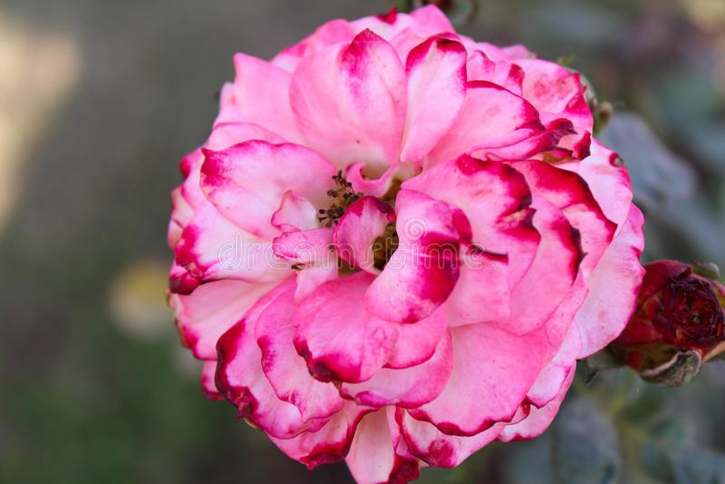 Asiatisk rosa blomma royaltyfri fotografi