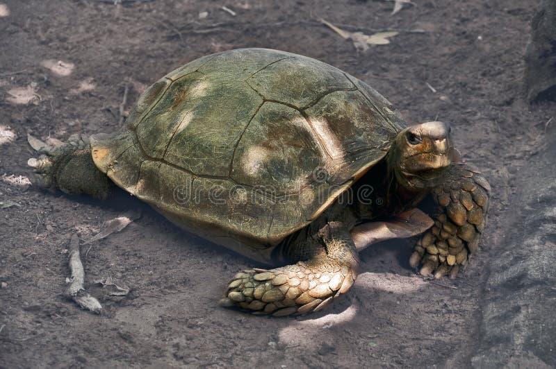 Asiatisk skogsköldpadda royaltyfri foto