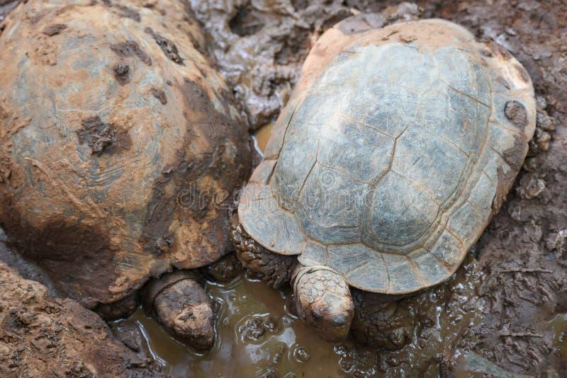 Asiatisk stor sköldpadda för jätte- sköldpadda på gyttjadammet arkivfoton