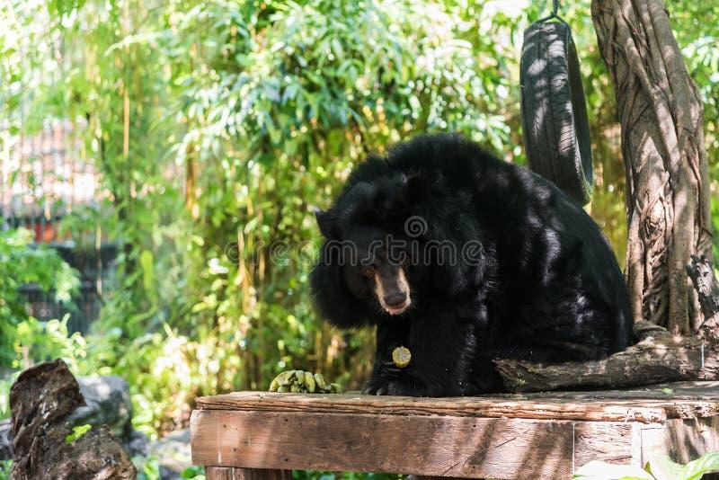 Asiatisk svart björn (Ursusthibetanus) som äter havre arkivbild