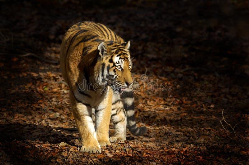 asiatisk tiger royaltyfri fotografi