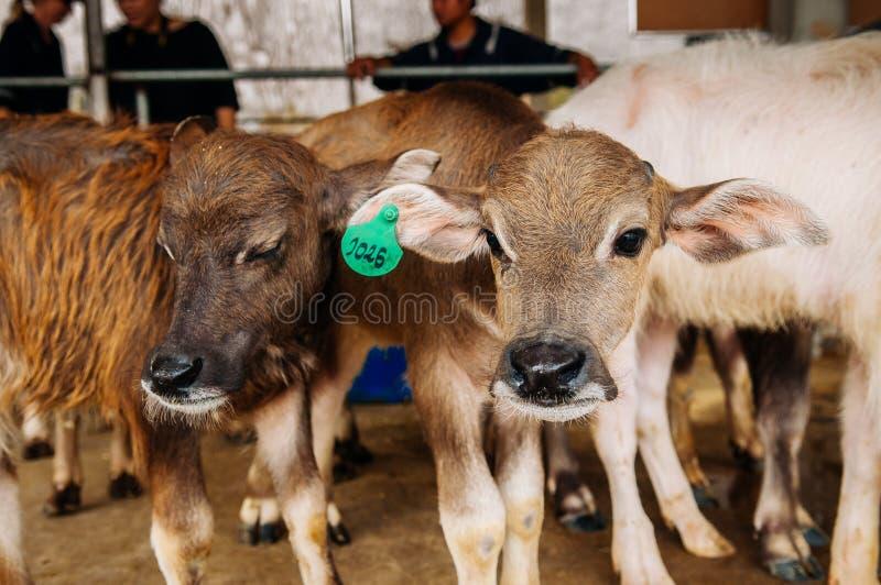Asiatisk vattenbuffel i lokal mejerilantg?rd i South East Asia arkivbilder