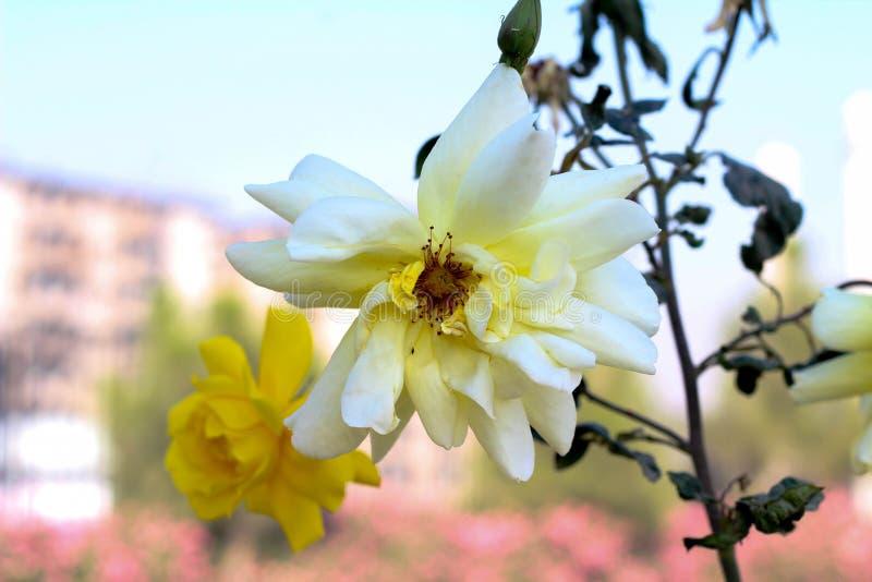 Asiatisk vit blomma royaltyfri fotografi
