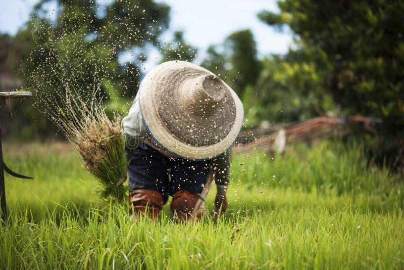 Asiatiska bönder återtar plantor för att växa ris i regnig säsong som det är en livsföring i bygden royaltyfri foto