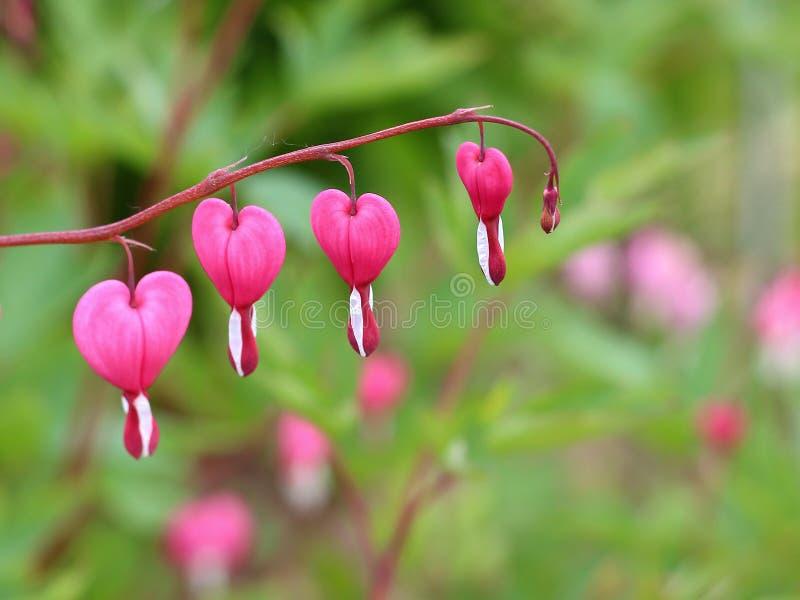 Asiatiska blödning-hjärta blommor royaltyfri bild