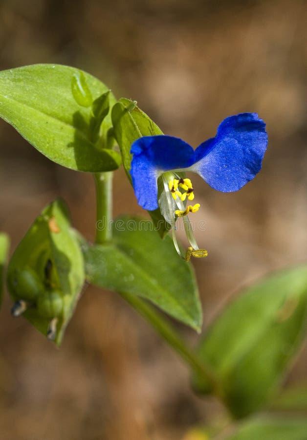 Asiatiska Dayflowermusöron - communis Commelina royaltyfria foton