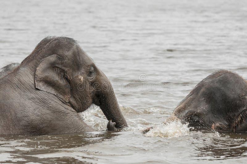 Asiatiska elefanter (Elephasmaximusen)) arkivfoto