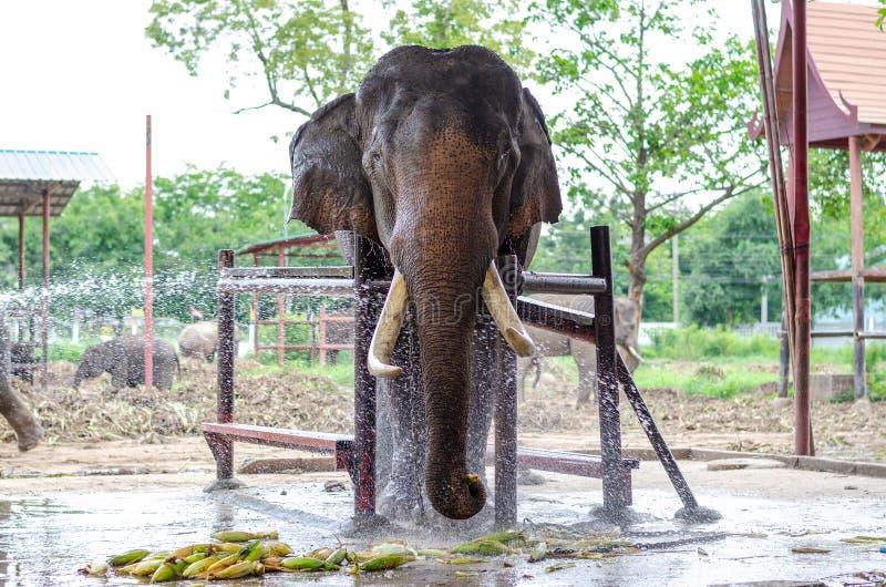 Asiatiska elefanter har härliga beten, kedjat fast som äter mat i elefantläger arkivfoto