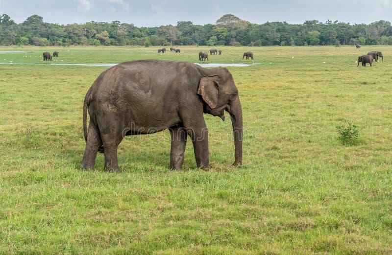 Asiatiska elefanter i den Minneriya nationalparken i Sri Lanka arkivfoton