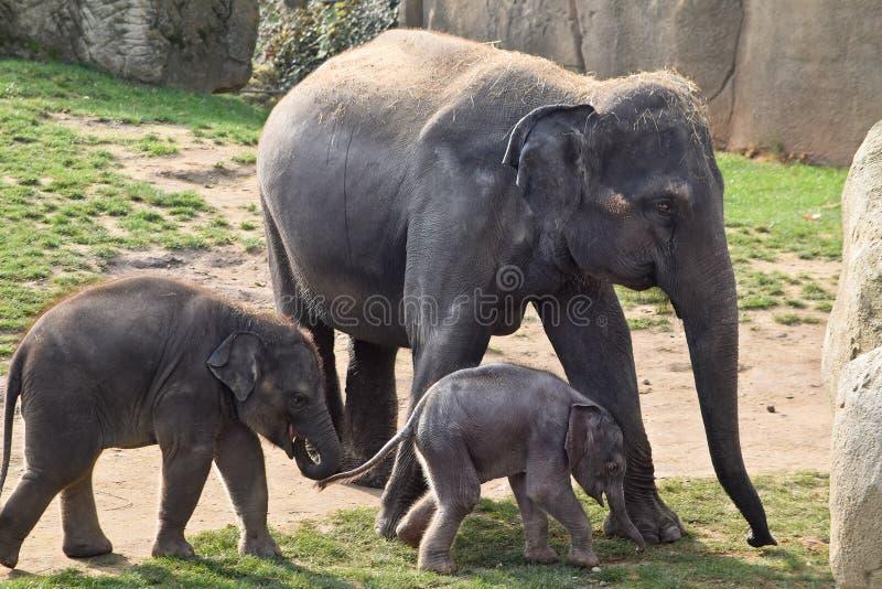 Asiatiska elefanter med kalvar arkivfoton