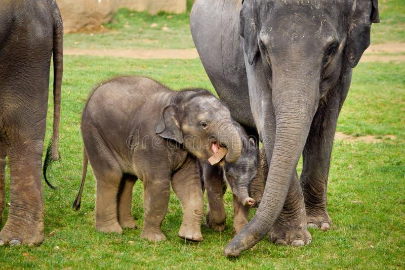 Asiatiska elefanter med kalvar arkivbilder
