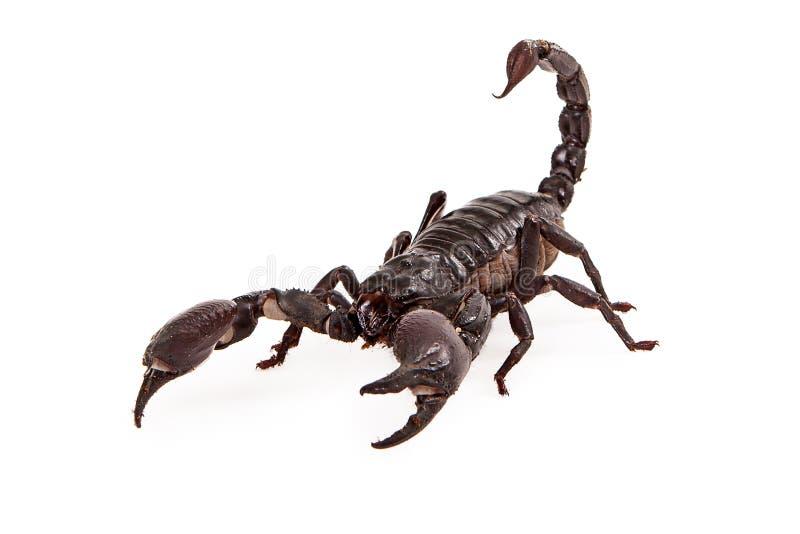 Asiatiska Forest Scorpion royaltyfri fotografi