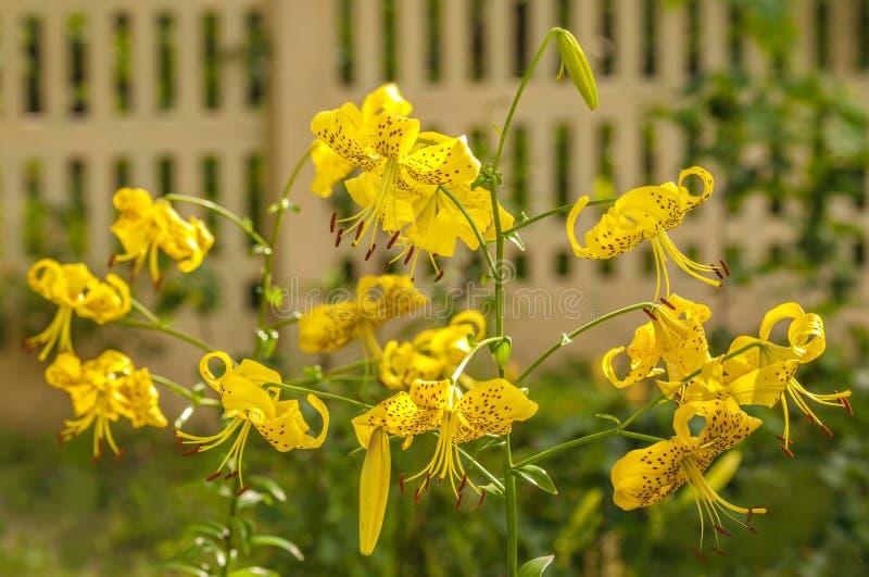 Asiatiska gula liljors citronellolja 'på i trädgården arkivbild