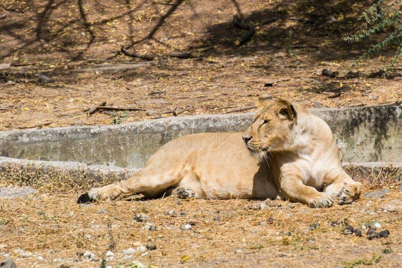 Asiatiska Lion Female som sitter i solljus fotografering för bildbyråer