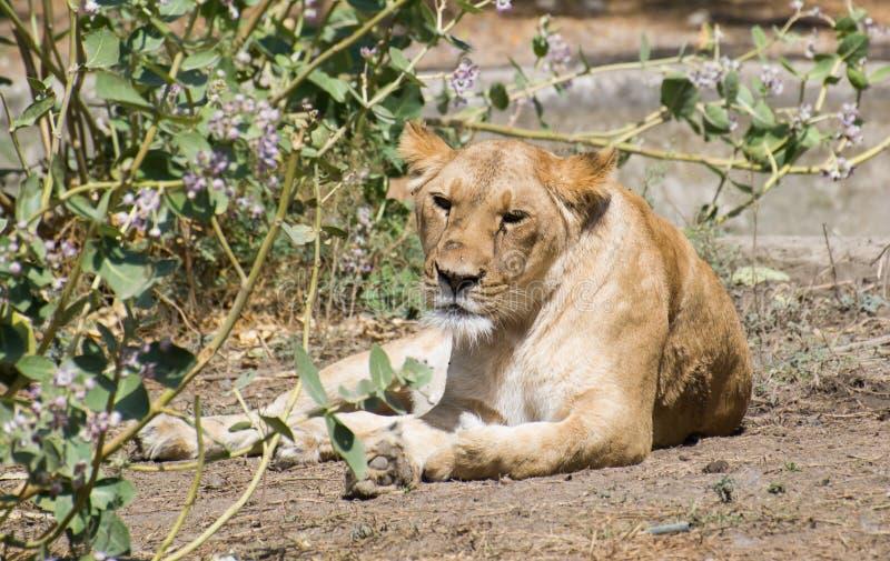 Asiatiska Lion Female som sitter nära busken royaltyfri bild