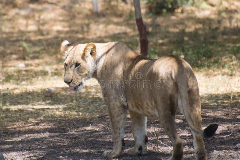 Asiatiska Lion Female Walking i skugga arkivbild