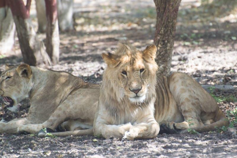 Asiatiska Lion Young Male i skuggan royaltyfri foto