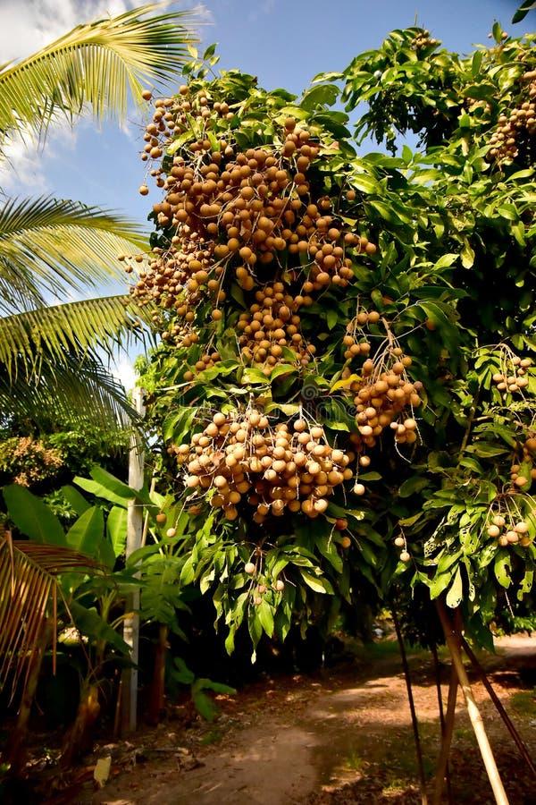 Asiatiska Longanfruktträdgårdar på den planterade lantgården royaltyfri bild