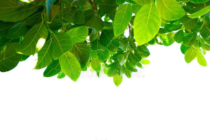 Asiatiska tropiska gröna sidor som isolerade på en vit bakgrund royaltyfri foto