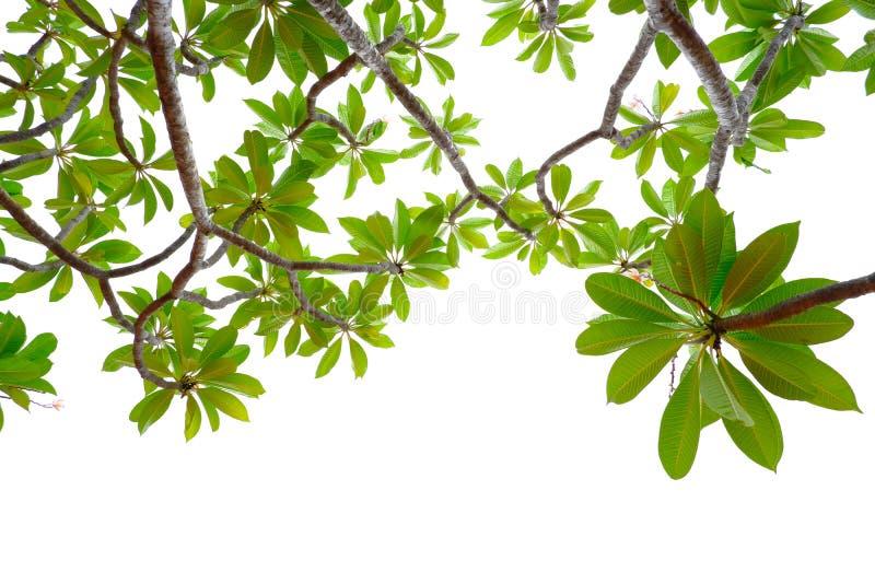 Asiatiska tropiska gröna sidor som isolerade på en vit bakgrund royaltyfria foton