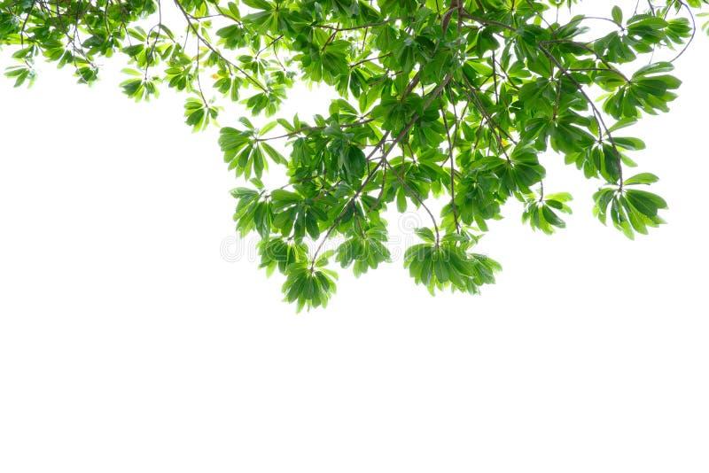 Asiatiska tropiska gröna sidor som isolerade på en vit bakgrund arkivfoton
