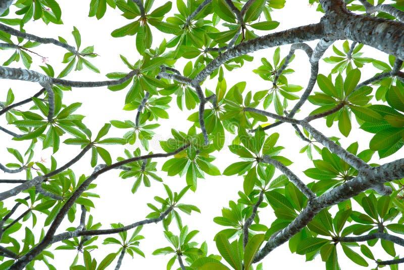 Asiatiska tropiska gröna sidor som isolerade på en vit bakgrund arkivbild