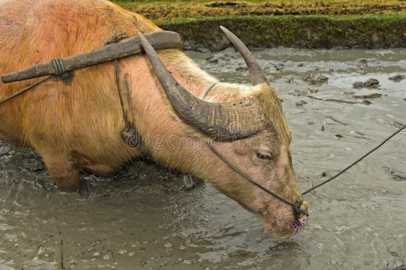 asiatiskt buffelvatten arkivbild