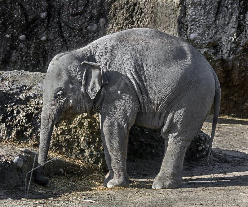 asiatiskt elefantphuket thailand barn royaltyfri foto