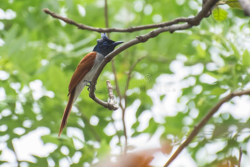 asiatiskt flycatcherparadis royaltyfri foto