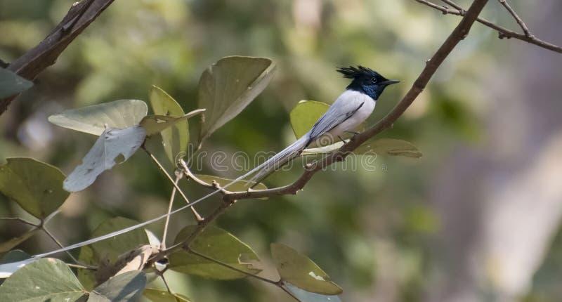 asiatiskt flycatcherparadis arkivfoton