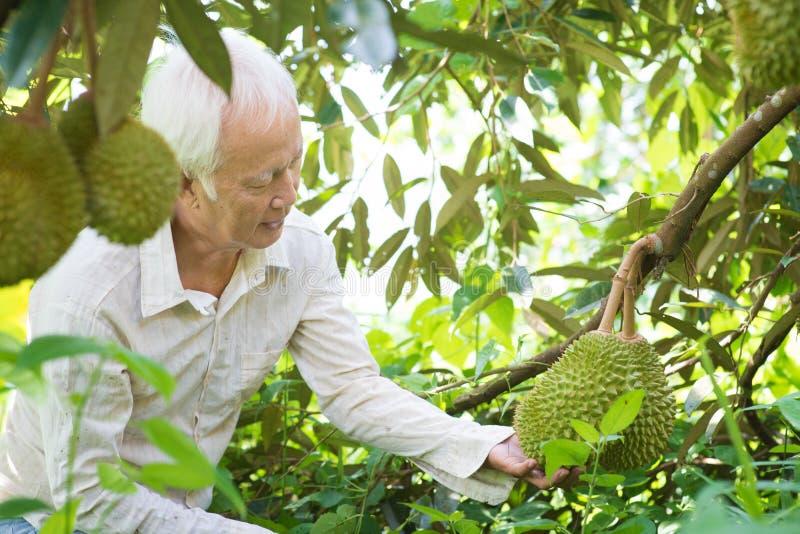 Asiatiskt folk- och durianträd royaltyfria bilder