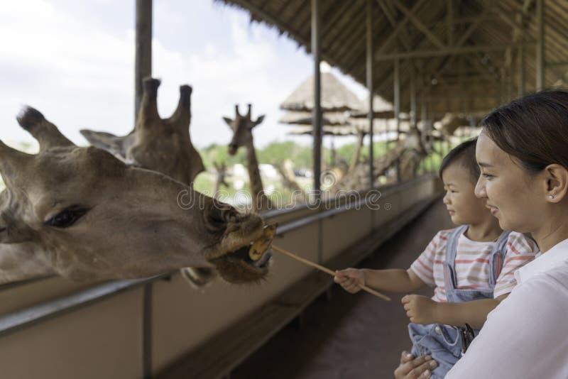 Asiatiskt gulligt behandla som ett barn flickan som matar p? din hand f?r stor giraff i bakgrund f?r djur lantg?rd arkivfoton
