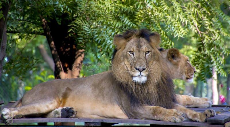 Asiatiskt lejon och lejoninna arkivbild
