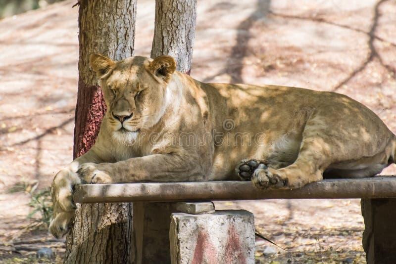 Asiatiskt Lion Female sammanträde arkivbilder