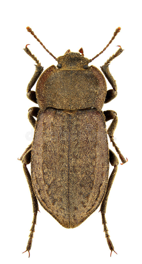 Download Asida corsica genei stock photo. Image of closeup, invertebrate - 17776818