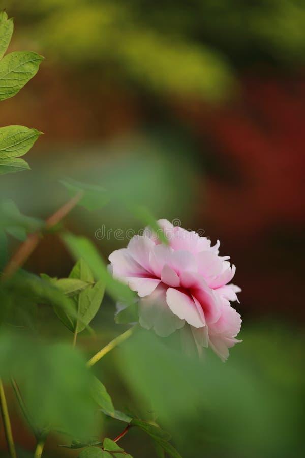 Asien parkerar den kinesiska rosa pionen i en sommarvårhöst för landskapveiw för skogen den nätta blomman för det härliga landska fotografering för bildbyråer