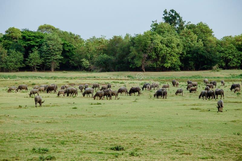 Asien Thailand, jordbruks- fält, åkerbrukt som är djurt arkivfoto