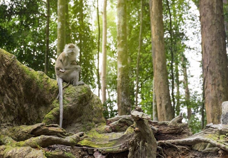 Asiento del mono de la cola larga en la raíz del contrafuerte rodeada por el bosque verde fotos de archivo libres de regalías