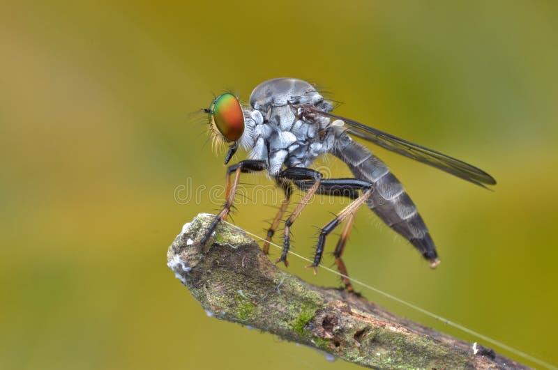Asilidae - a mosca de ladrão fotografia de stock royalty free