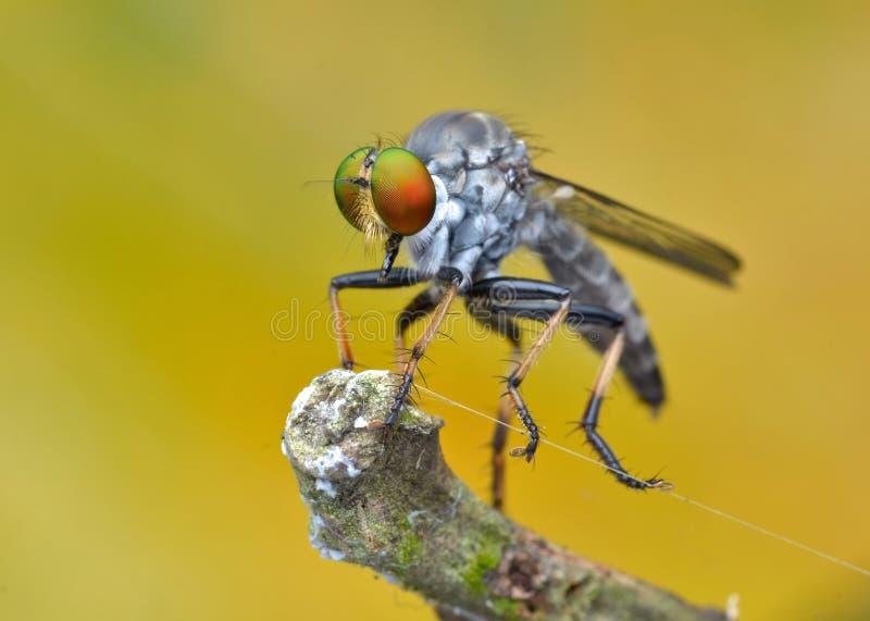Asilidae - a mosca de ladrão foto de stock
