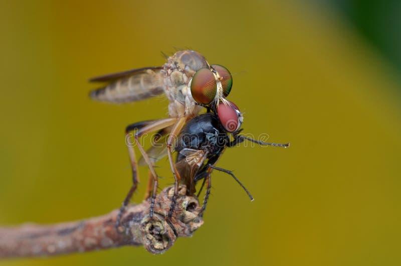 Asilidae - a mosca de ladrão imagem de stock