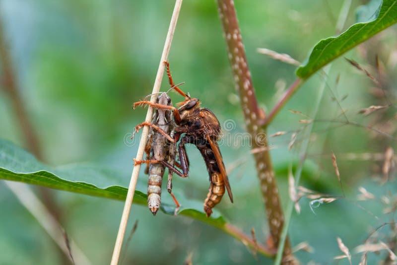 Asilidae prédateur photo libre de droits