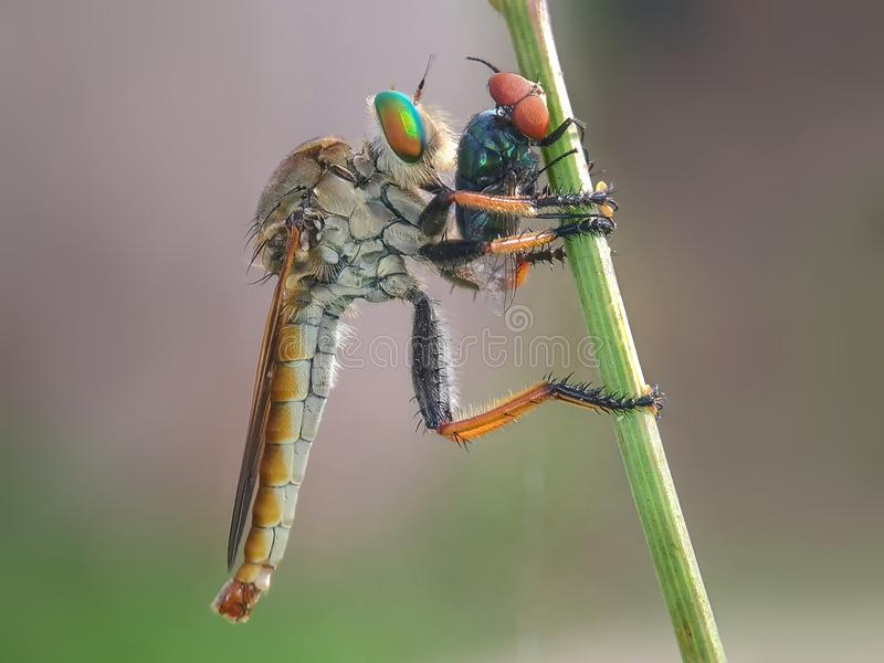 The Asilidae robber fly stock photography