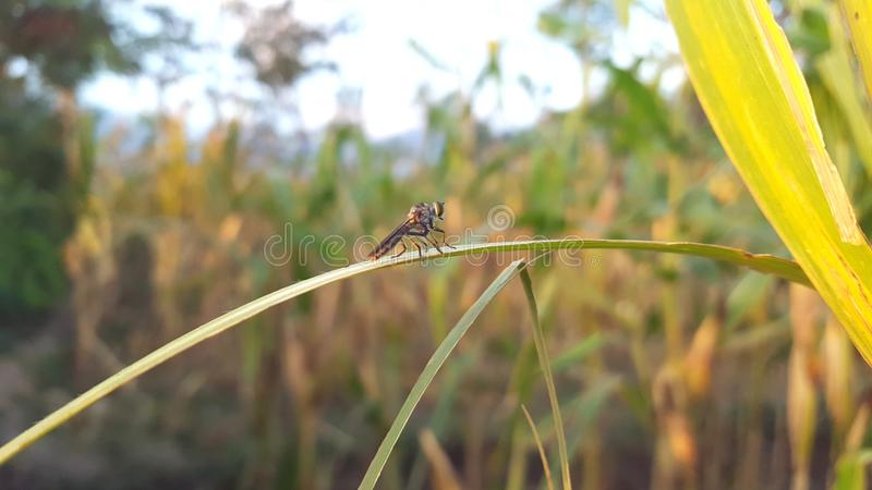 The Asilidae are the robber fly family, also called assassin flies stock image