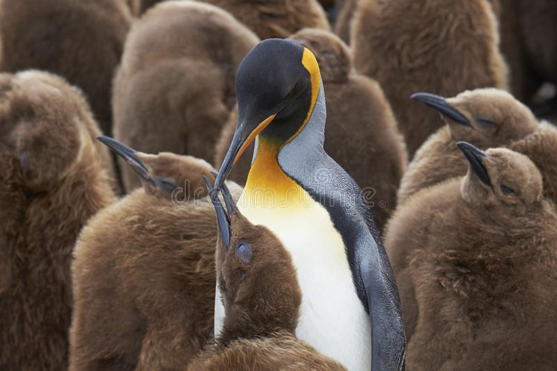 Asilo nido di re Penguin in Falkland Islands fotografie stock libere da diritti
