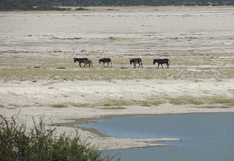 Asini alla pentola di Makgadikgadi fotografia stock libera da diritti