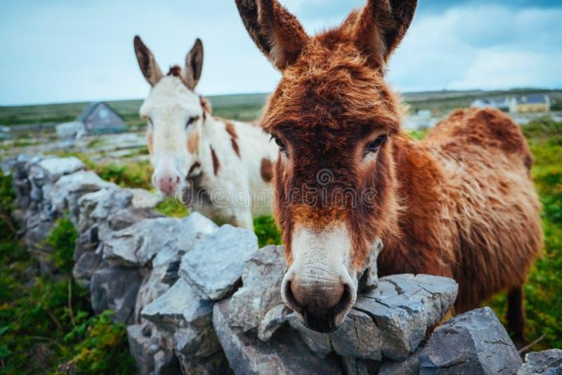 Asini in Aran Islands, Irlanda immagine stock libera da diritti